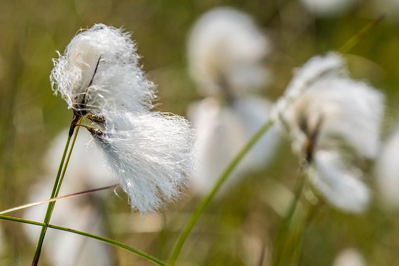 Bog-Cotton-4577