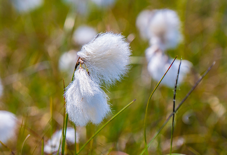 bog-cotton-B-cu4576