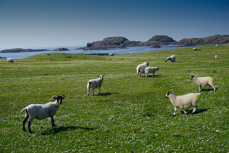 sheep-on-machair-4806