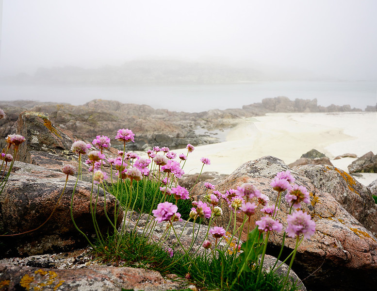 Sea-Thrift-fog-5987