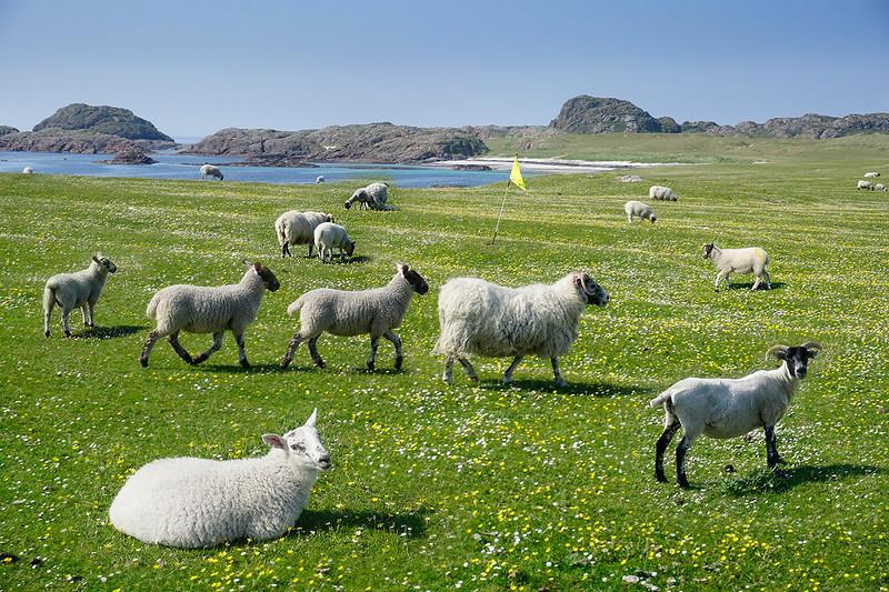 sheep-on-machair-4797