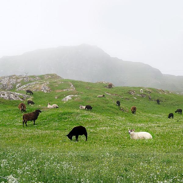 sheep-12-x-12-5840