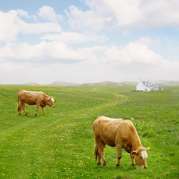 _cow-DSC6054-flat-copy