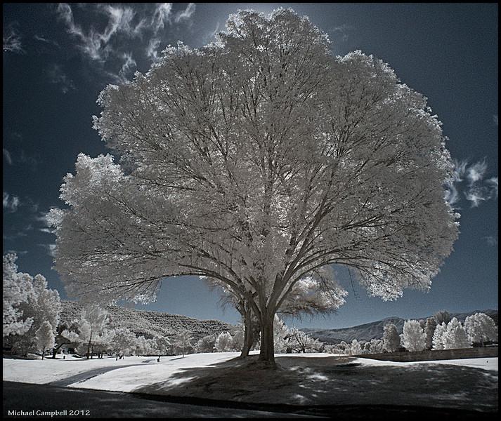 Tree-Pauma-1
