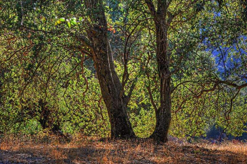 tree-1-Wheatly-ranch