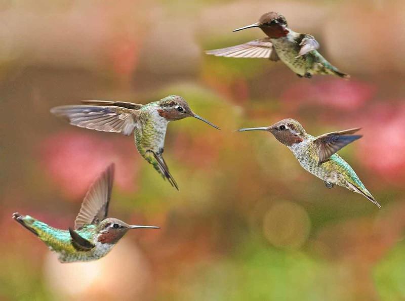 4-Humming-birds