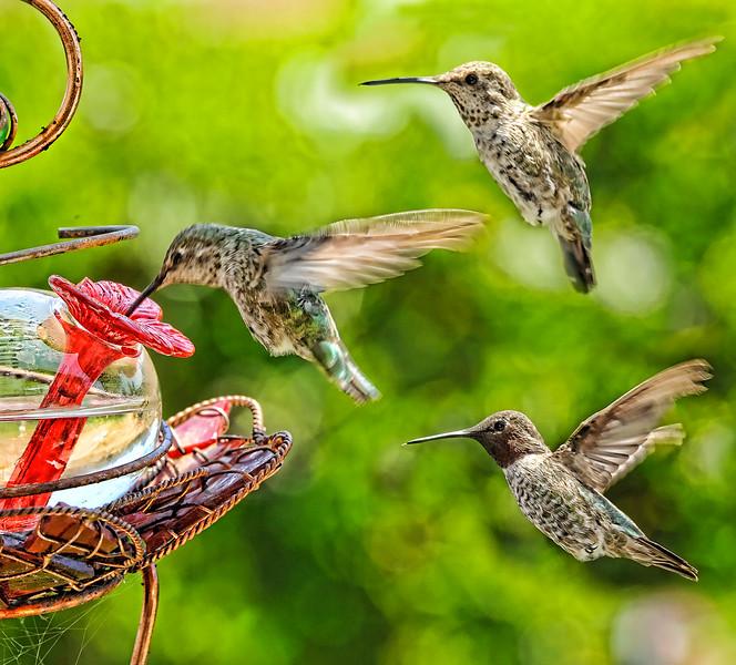 3-humming-birds828