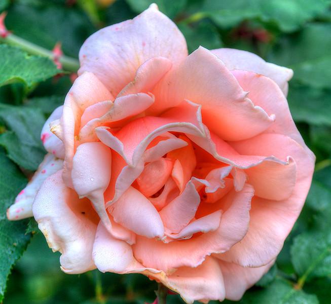 OLD-PINK-ROSE