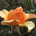 rose-original