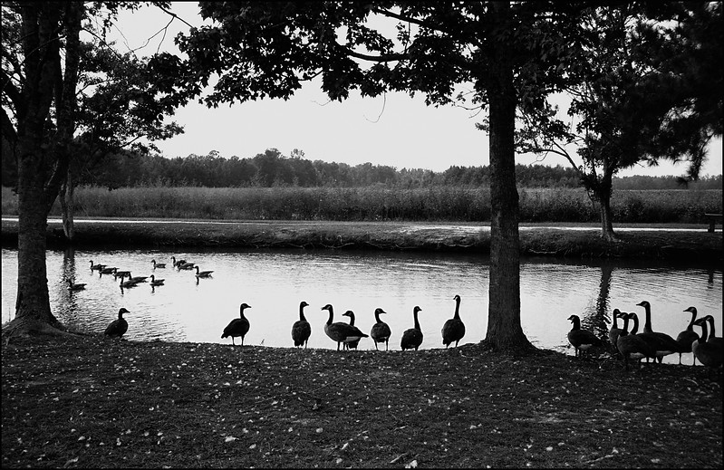 Geese at Laris Farm Hemmingway SC _Flat file_