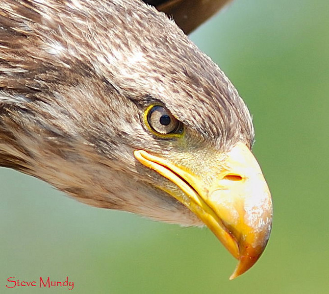 """Welcome to my Guest Book.  Please leave a comment - then <span style=""""color:#ADFFFF"""">buy a photo or two</span>! :)  This is one of my favourite Bald Eagle shots.  This is not an adult so it does not have a white head yet.    <span style=""""color:#ADFFFF"""">   </span>"""