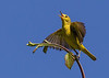 Yellow warbler, female,  flycatching, Horse Thief Meadows, Miount Hood National Forest, OR, 2014