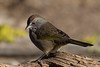 Green-tailed Towhee, Portrait 1, Deschutes NF, Oregon, 2013