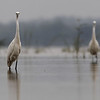 little egrets, watching me, Koh Preah, Mekong River, Cambodia, April 2013