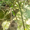scaly/white's? thrush, Mekong River 2014