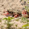 3 river tern chicks