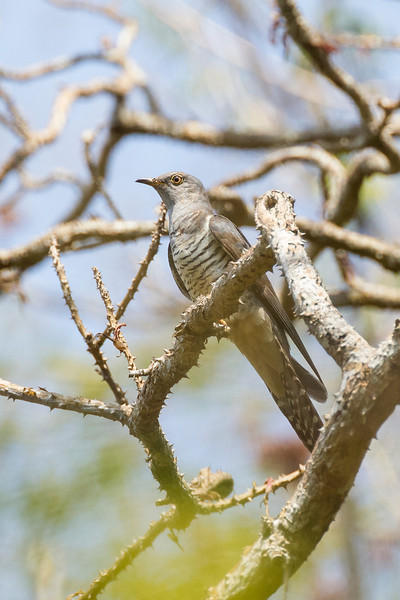 Oriental or Himalayan cuckoo