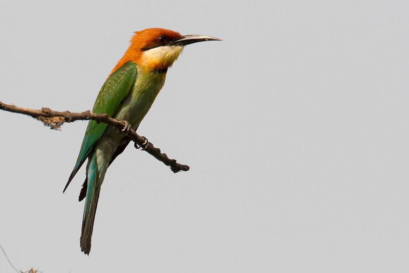chestnut-headed bee-eater, Mekong River, Cambodia, 2014