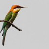chestnut-headed bee-eater, Mekong River, Cambodia, 2014