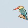 stork-billed kingfisher, Mekong River, Cambodia, 2014
