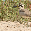 great thick-knee, Mekong River, Cambodia, 2014