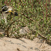 great thick-knee, on nest, Mekong River, Cambodia, 2014