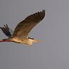 grey heron, in-flight, Mekong River, Cambodia, 2014