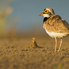 little-ringed plover, foraging in the evening light, Koh Preah, Mekong River, Cambodia, 2014