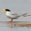 river tern, adult, on sand-bar, Mekong River, Cambodia, 2014