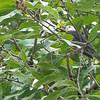 Himalayan black bulbul
