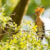 Eurasian hoopoe (Upupa epops), Mekong River Cambodia,