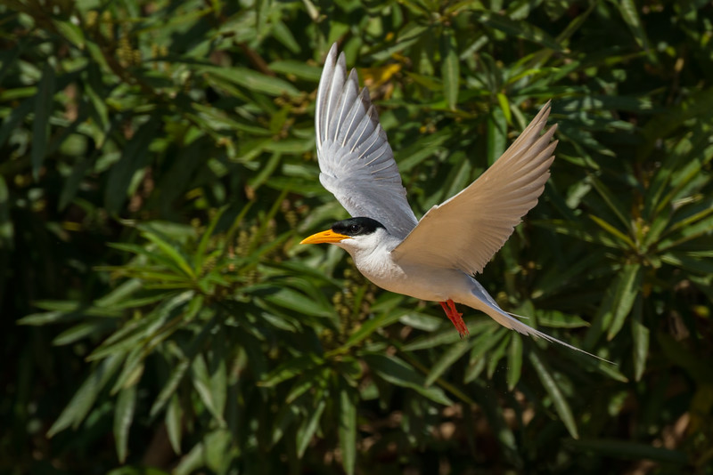 River tern distressed near nest, Mekong River, Cambodia, 2014
