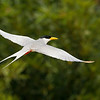 River tern on Green
