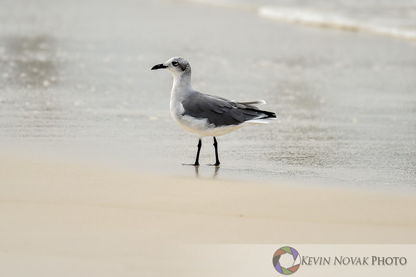 Panama City Beach, FL.  September 29, 2015. Seagull  © 2015 Kevin Novak