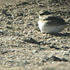 long-billed plover, Han River, Korea