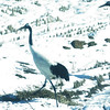 red-crowned crane, Sin-Cheorwon-Do, DMZ, Korea
