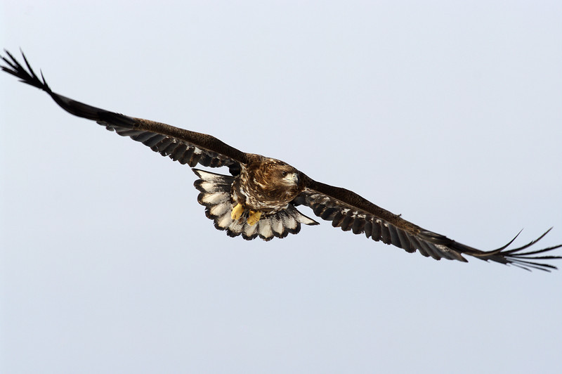 White-tailed sea eagle, juvenile, Sin Cheorwon-Do, South Korea<br /> 1/2011