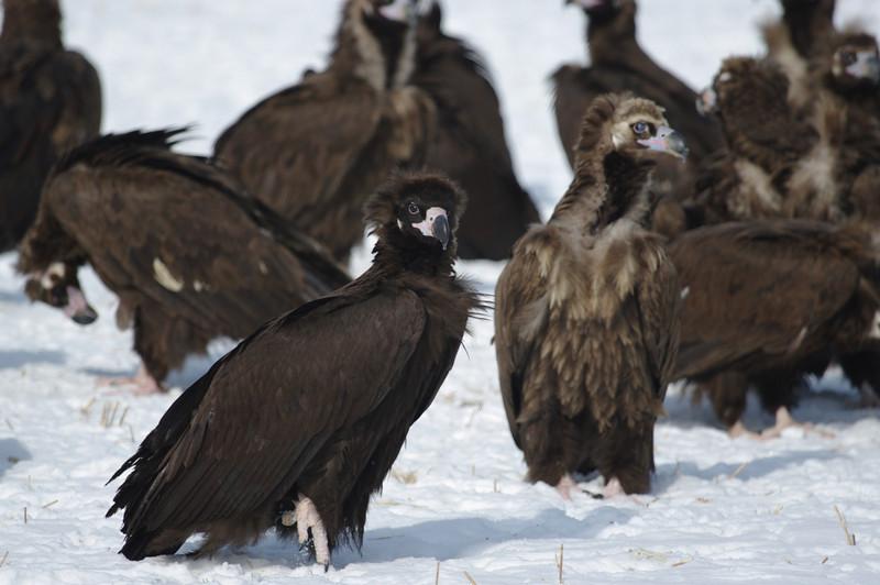 Cinereous vultures, Sin Cheorwon-Do, South Korea<br /> 1/2011