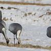 white-naped cranes, Sin-Cheorwon-Do, Korea