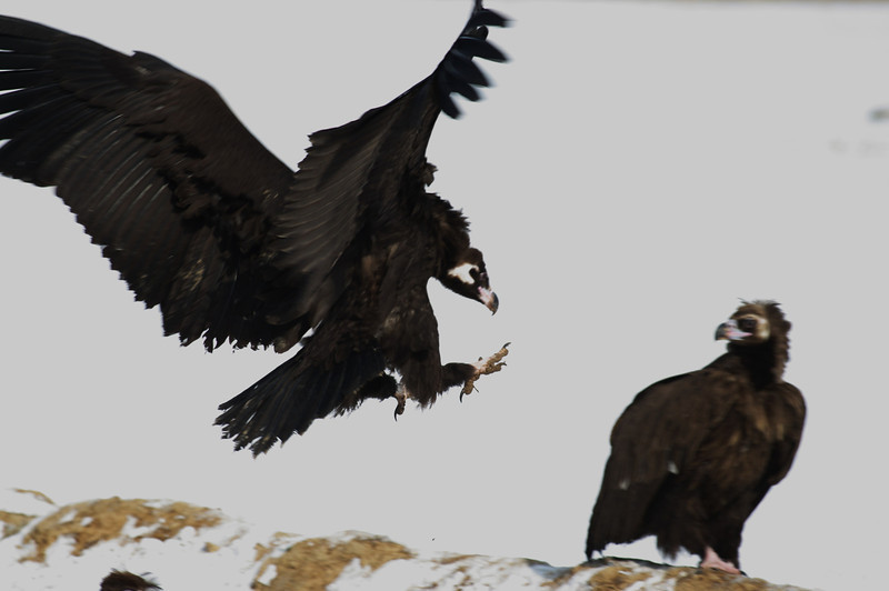 Cinereous vultures, Sin Cheorwon-Do, South Korea<br /> 1/2011