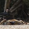 red-headed vulture, female, atop cow carcass, Koh Rgneauv, Mekong River, Cambodia