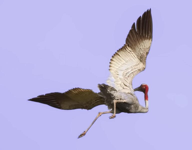 Sarus crane, aerial dance, Anlong Pring Crane Reserve, Cambodia 2013