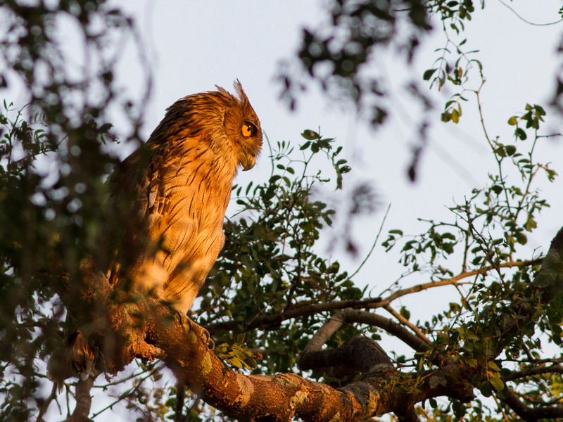 Brown-fish owl, Koh Enchey, Mekong River, Cambodia