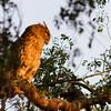 Brown-fish owl, Koh Enchey, Mekong River, Cambodia