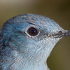 Mountain bluebird, male, detail, Deschutes NF, Oregon, 2013