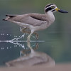 great-thick-knee, adult, running through water, Koh Preah, Mekong River, Camobodia, 2013