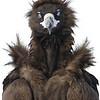 Cinereous vulture, juvenile, portrait, Sin-Cheorwon-Do, Korea, 2011