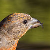 Red Crossbill, Portrait 2, Descutes NF, Oregon, 2013