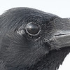 Eastern jungle crow, detail, Koh Preah, Mekong River, Cambodia 2013