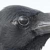 Eastern jungle crow, detail, Koh Preah, Mekong River, Cambodia 2013